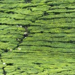 A  Cup of Tea and a Mystery: Cameron Highlands