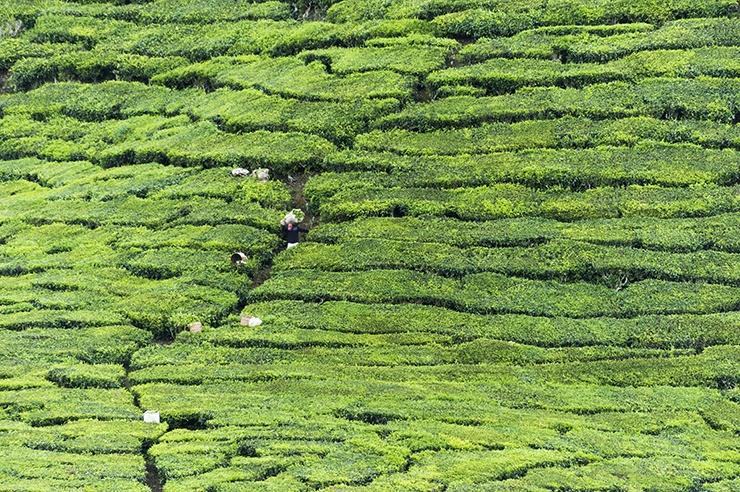 Cameron Highlands Tea Hill