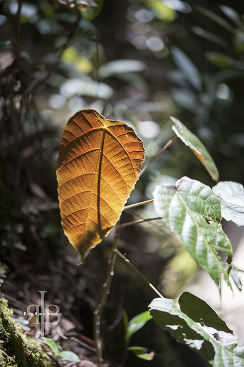 Kinabalu Brown Leaf