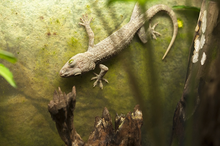 Penang Butterfly Green Eyed Gecko