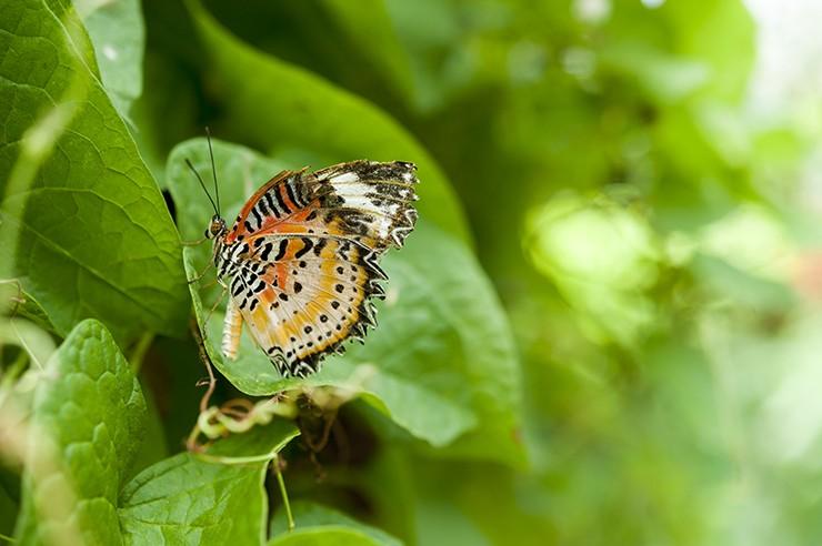 Penang Butterfly Jagged Edge II