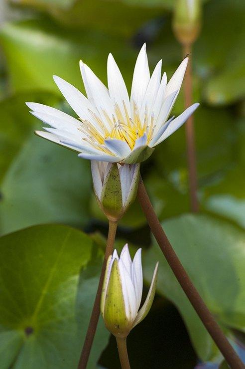 Penang water Lily