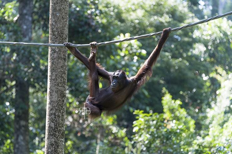Sepilok Orangutan Leg Grab