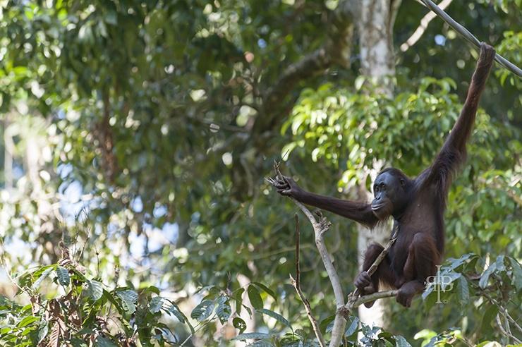 Sepilok Orangutan Sitting