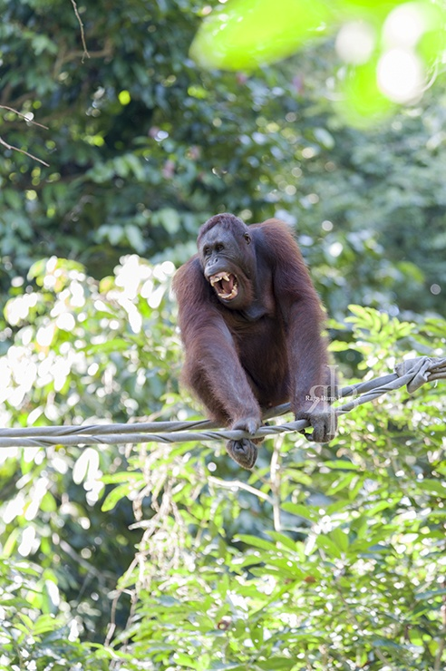 Sepilok Orangutan Teeth
