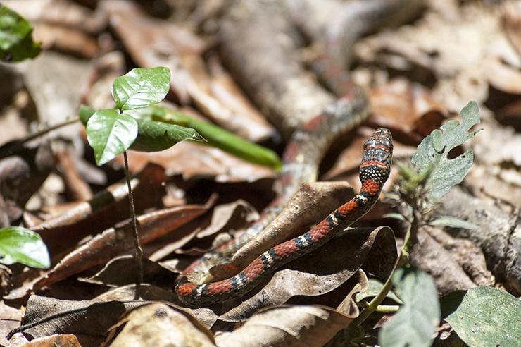 Coral snake taman negara