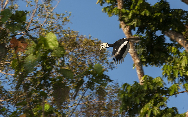 A Greater Hornbill in flight