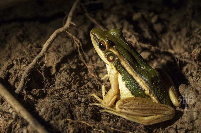 Uncle Tan Green Frog