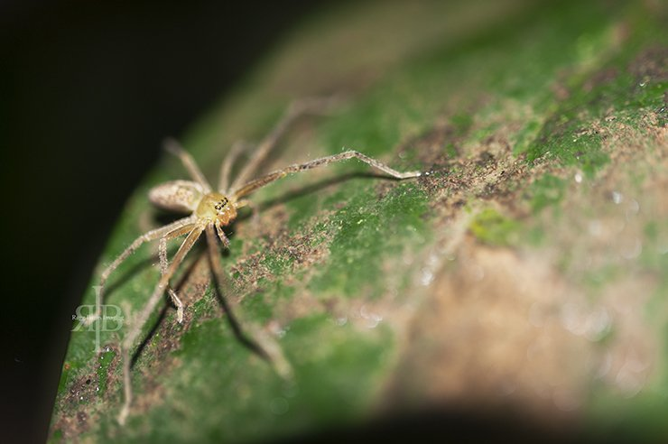 Uncle Tan Spider On Leaf