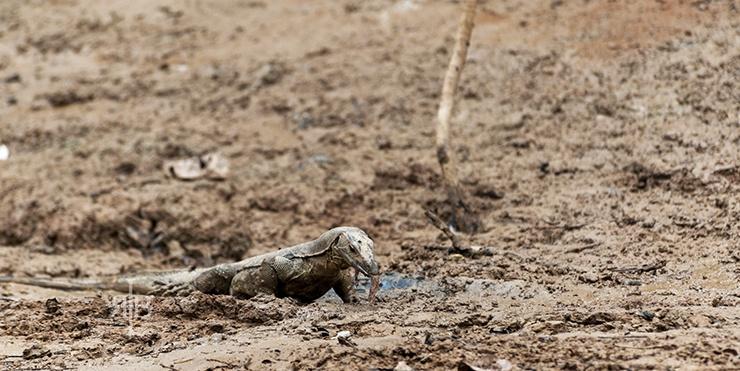 Uncle Tan Water Monitor Lizard Feeding