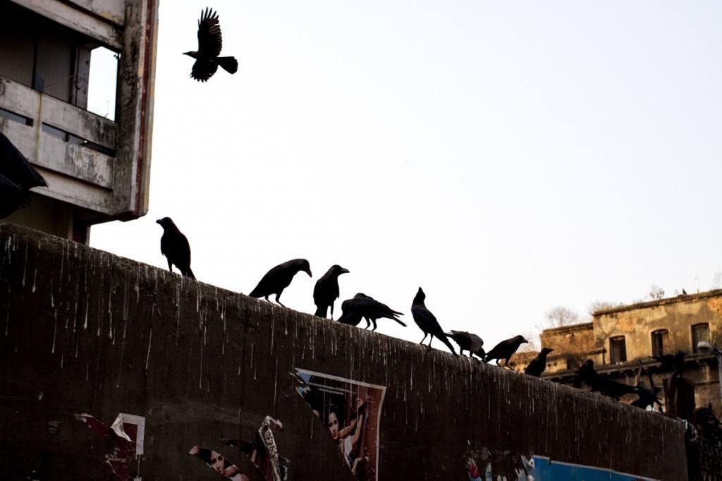 Calcutta crows on wall