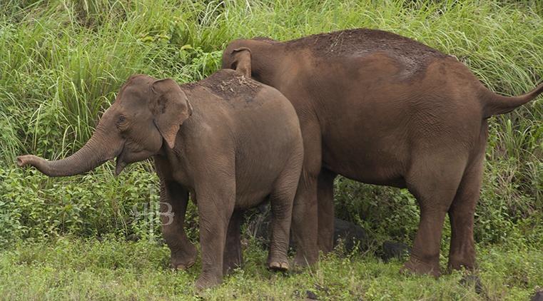 India Kumily NP wild elephants