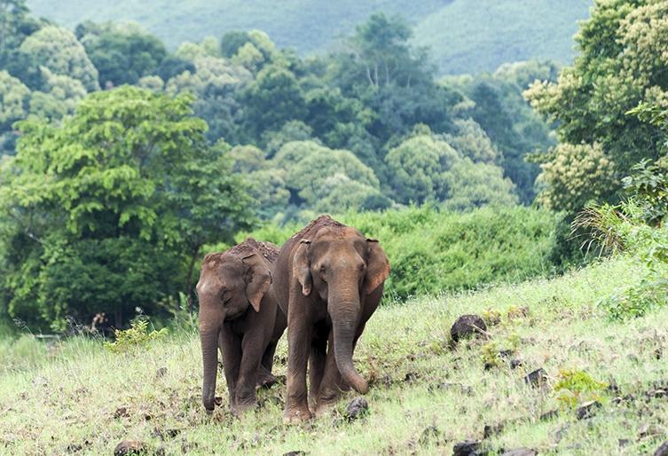 India Kumily Wild Elephants