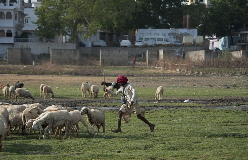 Udaipur shepherd and sheep