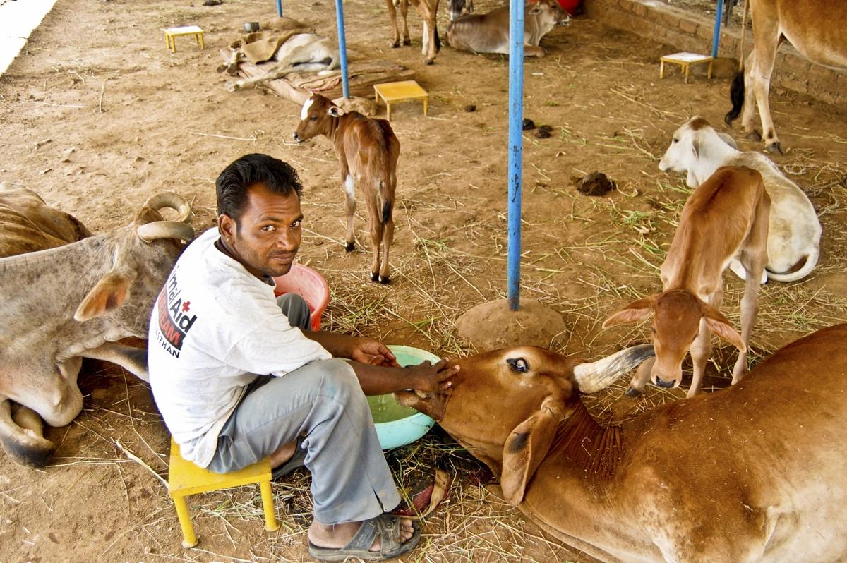 feeding cows animal aid
