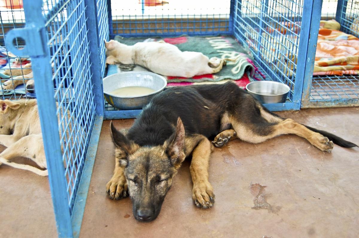 german shepherd puppy animal aid