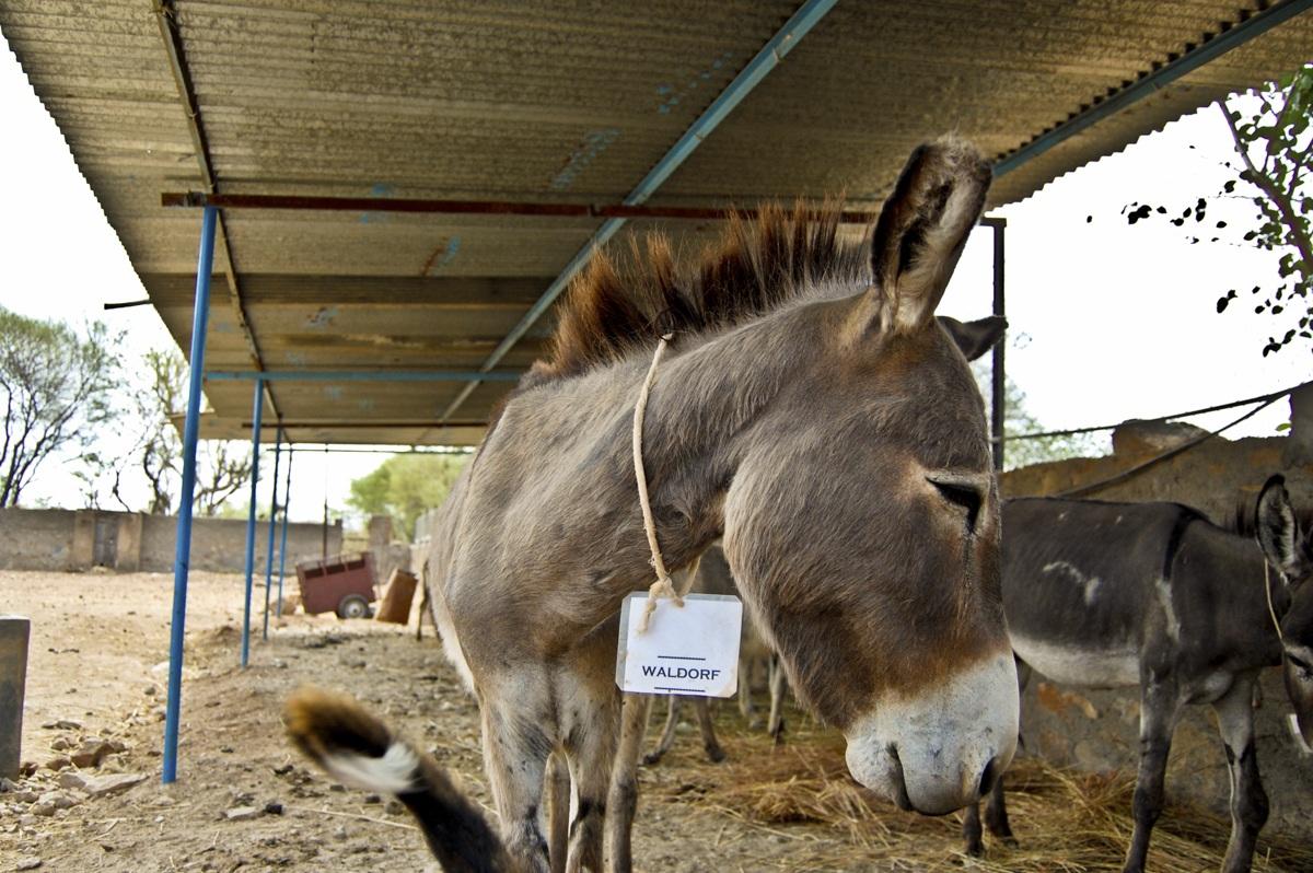 waldorf the donkey animal aid