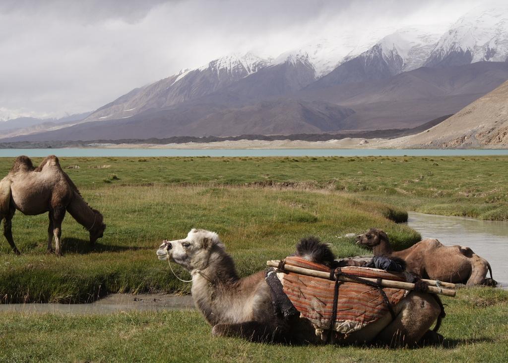 camels tashkurgan