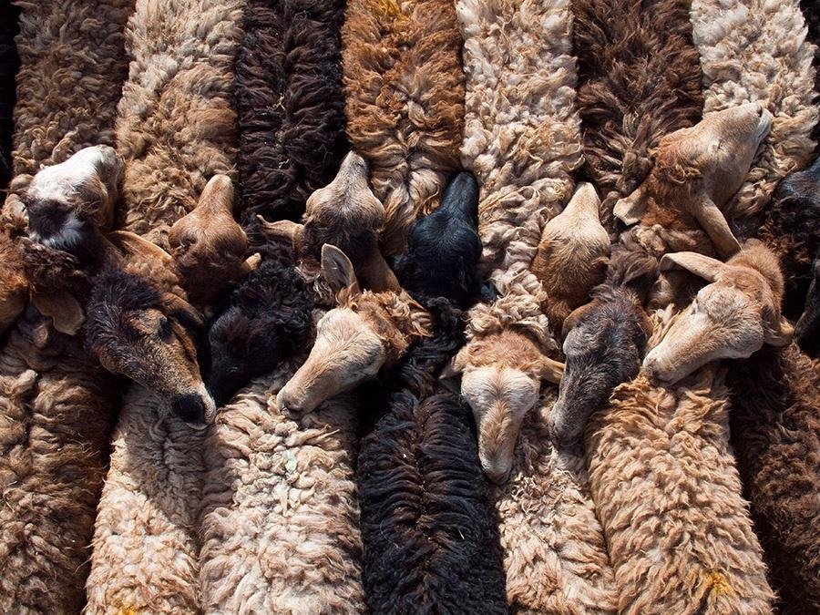 Bound Sheep Karakoram Highway