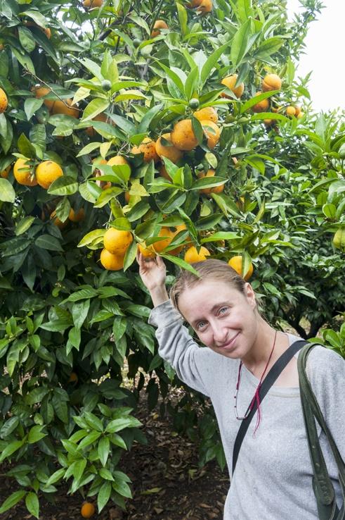 Orange Picking lemons gargano