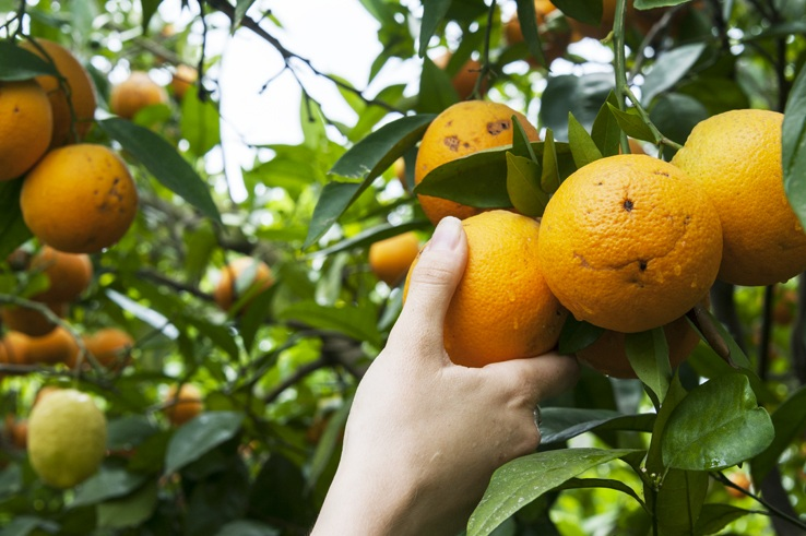 Happy orange lemons gargano