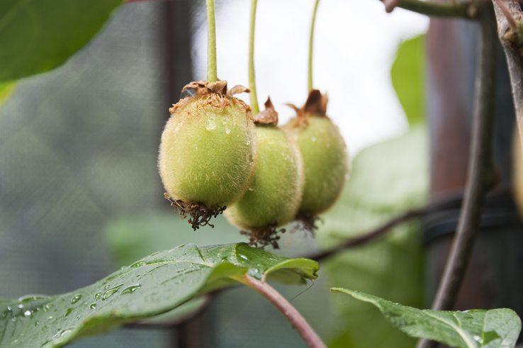 Kiwi Three lemons gargano