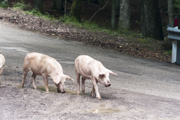 Foresta Umbra Pigs