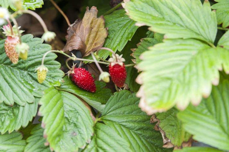 Wild Strawberries lemons gargano