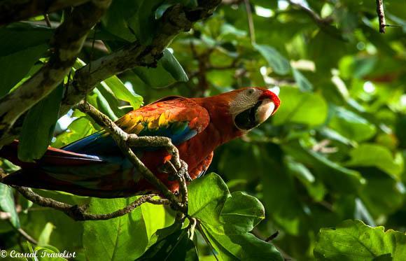 parrot osa costa rica