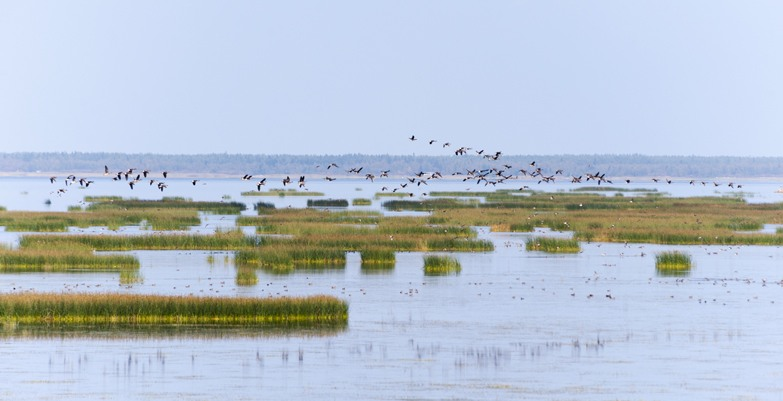 Birdwatching in Liminka Bay Flying