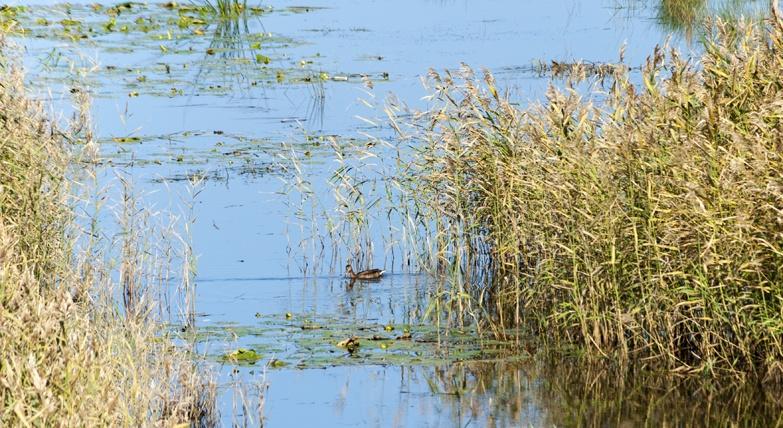Birdwatching in Liminka Bay Duck