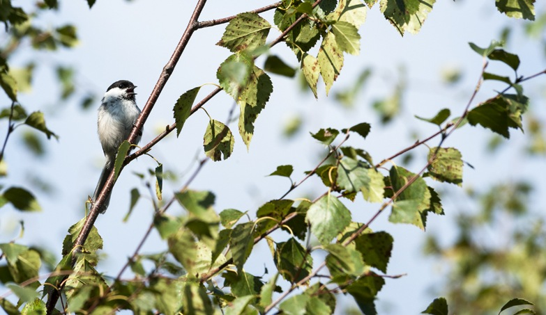 Birdwatching in Liminka Bay Willow Tit