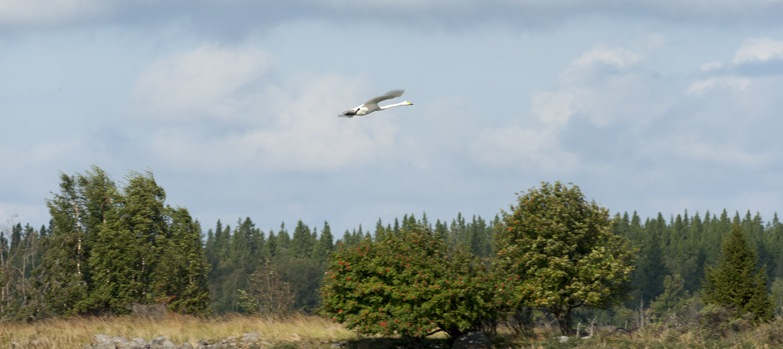 Kvarken archipelago swan flying