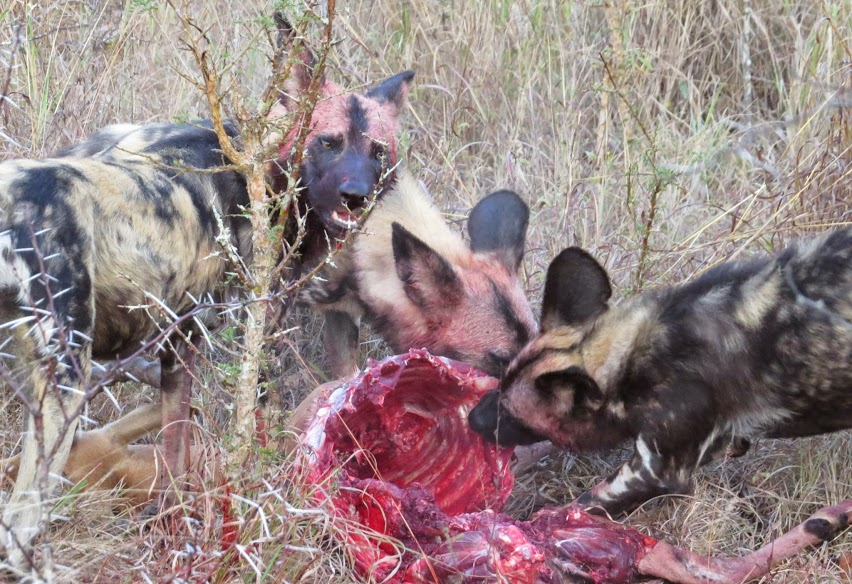 wild dogs south africa