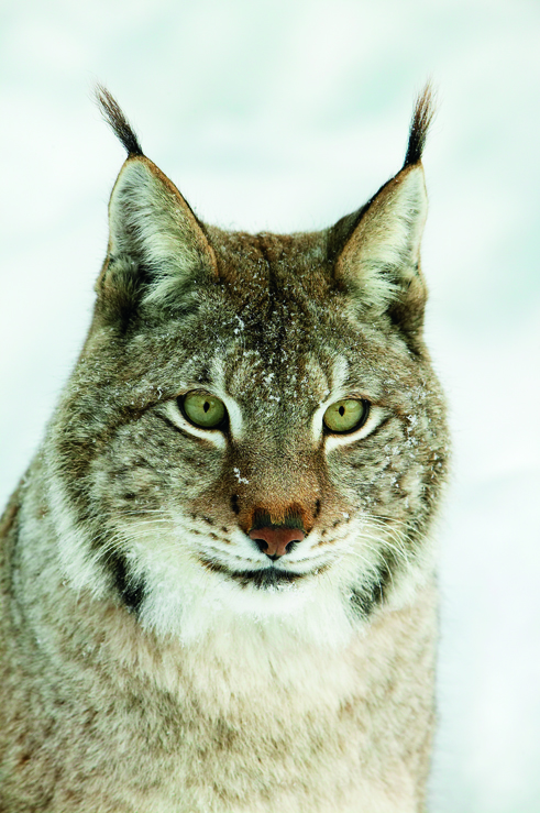 Liminka Bay lynx