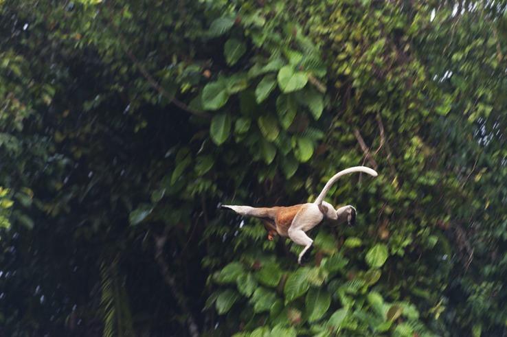 Wild World: Proboscis Monkey, Borneo
