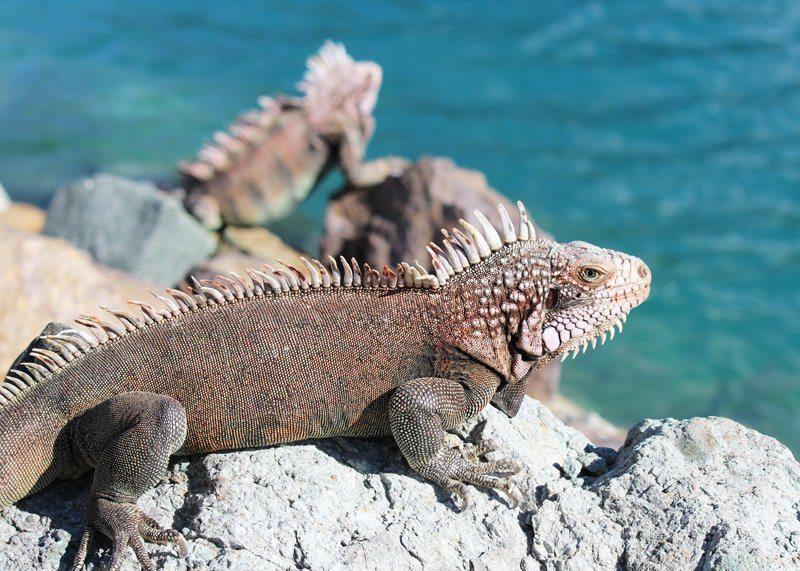 Iguanas St Thomas
