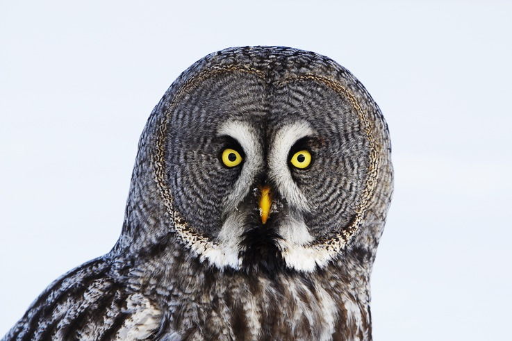 Liminka Bay owl