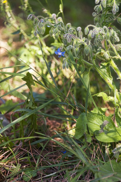 foraging for edible herbs borage