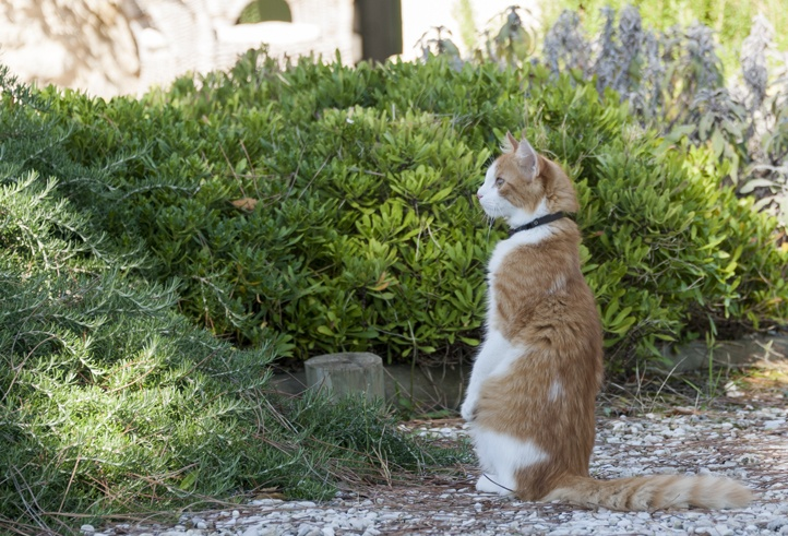 ginger cat meerkat
