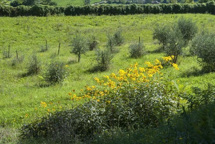 yellow jerusalem artichoke flowers