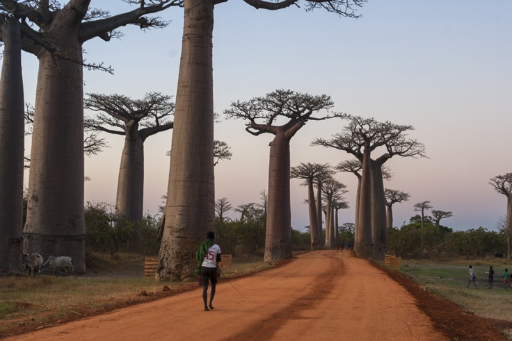 Madagascar Avenue of baobabs Going Home