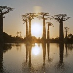 The Avenue of Baobabs at sunset
