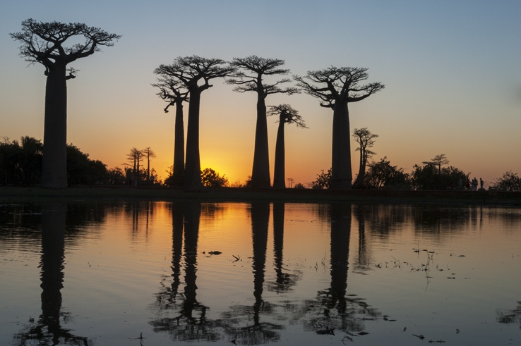 Madagascar Avenue of baobabs sunset tree