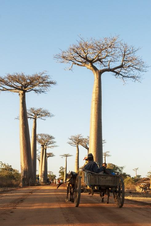 Madagascar Baobabs Avenue zebu cart