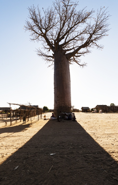 Madagascar Baobabs in the Shadows