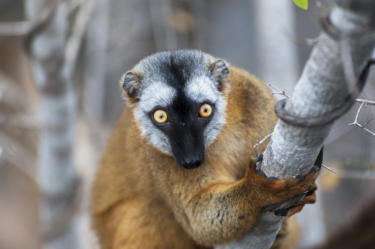 Little Tsingy Brown Lemur