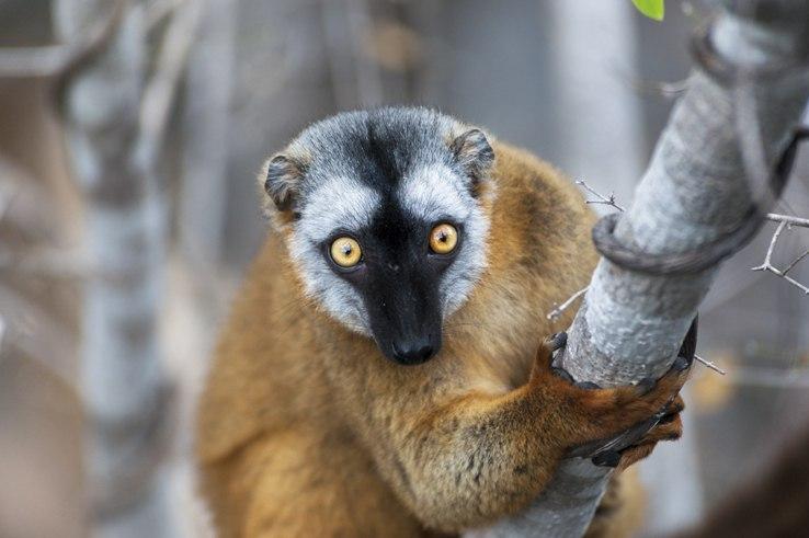 Little Tsingy Brown Lemur