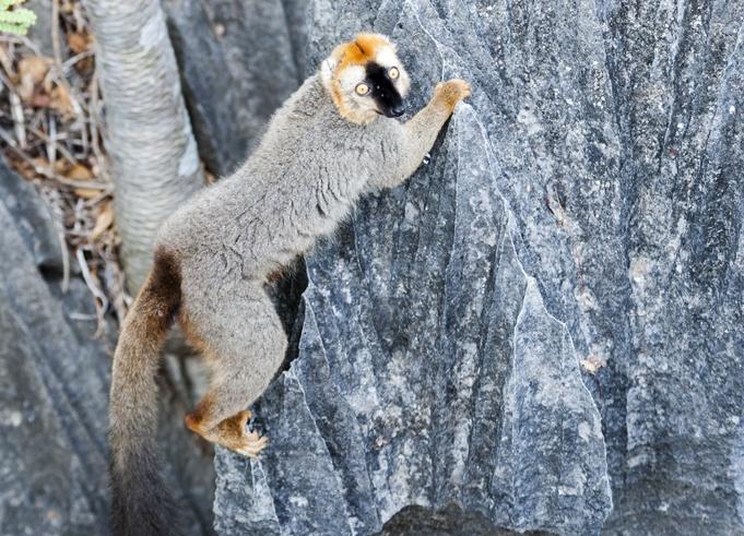 tsingy de bemaraha brown lemur