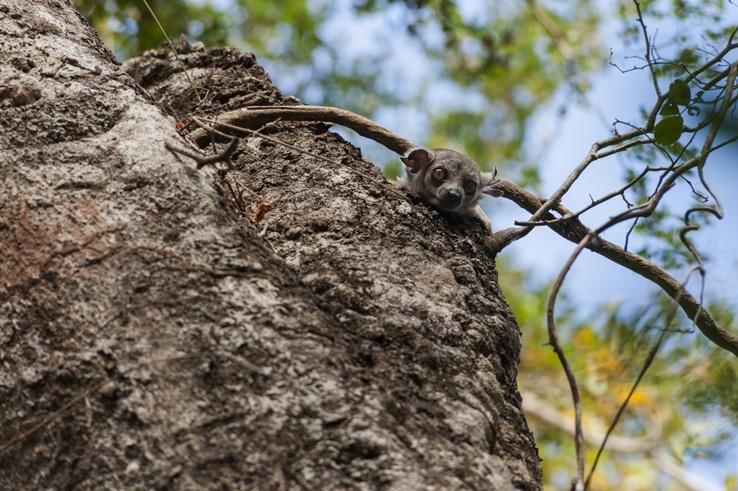 Little Tsingy Nocturnal Lemur Head